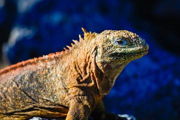 Small land iguana profile view sunbathing, South Plaza
