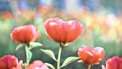 Flower Peony flowering against the background of flowers. Spring flowers.