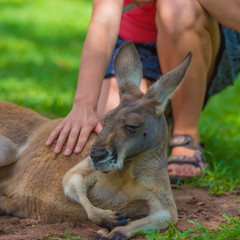 Unrecognizable woman petting a sleepy kangaroo in wildlife nature reserve.