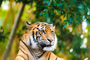 Portrait of Sumatran tiger over forest background with bokeh