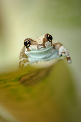 Frog on grean leaf crawl up