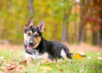 Portrait of a German Shepherd puppy outdoors with colorful autumn leaves