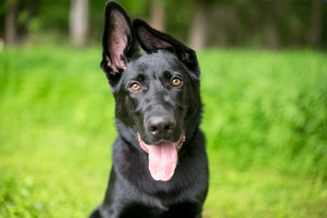Portrait of a black German Shepherd puppy with floppy ears