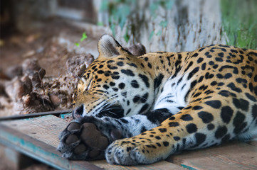 Jaguar - wild animal sleeping