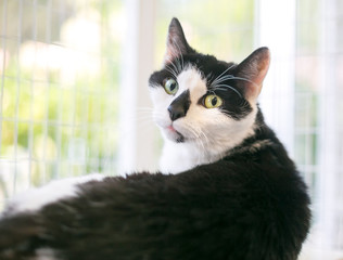 Portrait of a black and white domestic shorthair cat in a relaxed pose looking over its shoulder