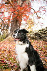 A Border Collie dog outdoors in the fall with colorful autumn leaves