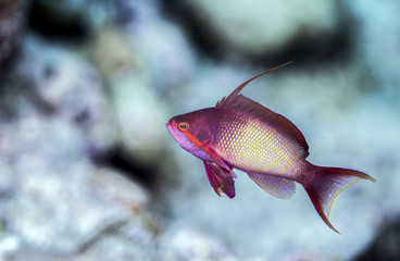Beautiful colorful fusilier fish from the tropical Maldives