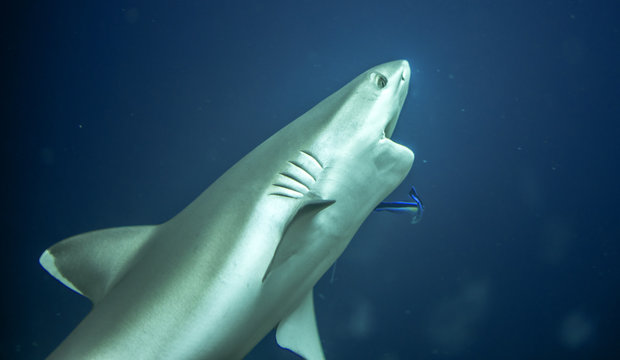 Close up of white tip reef shark from the tropical Maldives