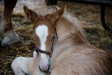 Belgian Foal