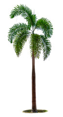 Manila palm, Christmas palm tree ( Veitchia merrillii ) isolated on white background. used for advertising decorative architecture. Summer and beach concept.