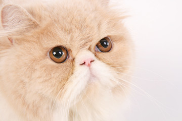 Brown and white persian cat close up face on white background.