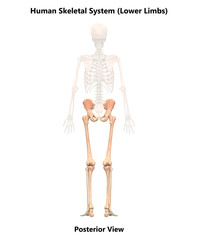 Human Skeleton System Lower Limbs Anatomy (Posterior View)