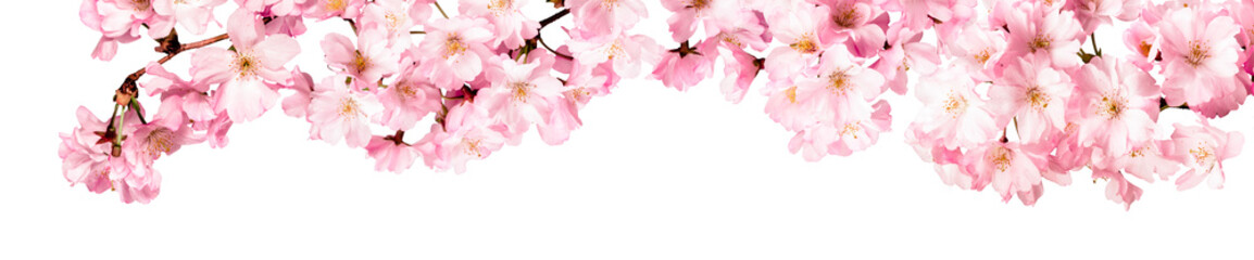 Foto op Plexiglas Kersenbloesem Rosa Kirschblüten Freisteller Panorama auf weißem Hintergrund
