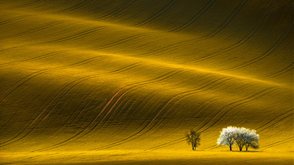 Spring Wavy Yellow Rapeseed Field With White Tree And Wavy Abstract Landscape Pattern.Corduroy...