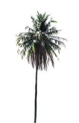 Coconut tree isolated,  white background
