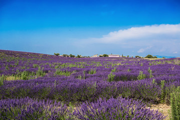 VALENSOLE, FRANCE, JULY, 03, 2015 - Lavender fields and factories near the village of Valensole, Provence, France.