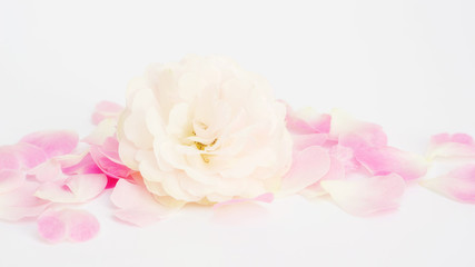 White and pink rose flower on a white background.