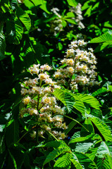 Flowers of the chestnut tree