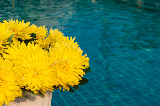 yellow artificial Chrysanthemum flowers by swimming pool