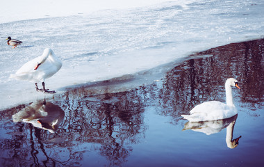 Two Swans On The Frozen Pond Swimming And Standing On Ice