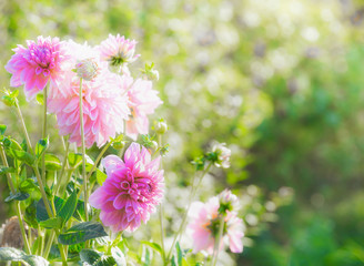 Poster Dahlia Beautiful pink dahlia flowers in summer garden, outdoor nature