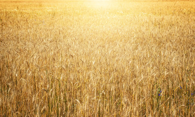 Gold wheat field in sunlight.