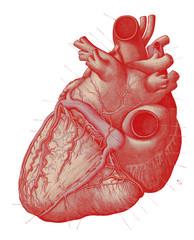 Vintage Anatomy Heart Engraving Illustration 1910