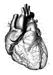 Vintage Anatomy Heart Engraving Illustration 1910 Romantic Valentines Day