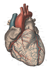 Vintage Anatomy Heart Engraving Illustration 1910
