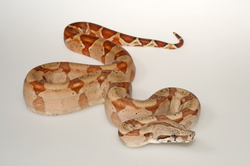 Abgottschlange (Boa constrictor) - red-tailed boa