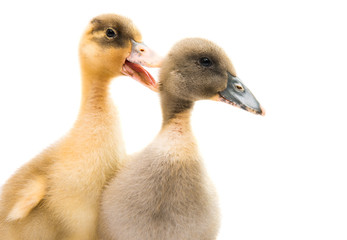 small geese isolated
