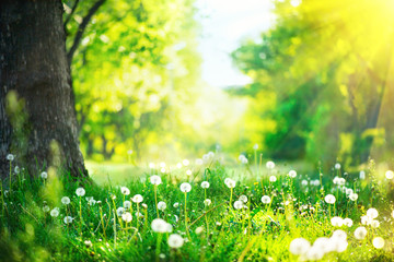 Beautiful spring landscape. Park with old trees, green grass and dandelions Wall mural