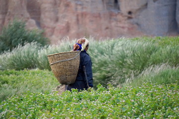 Nepalese woman goes to collect the vegetables in the garden, with a basket behind his back, in the village of Chusang(3022m) of the Kingdom Mustang. Nepal.