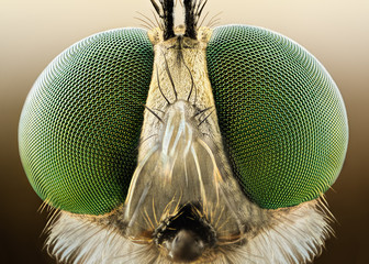 Spoed Fotobehang Macrofotografie Extreme sharp and detailed macro of robber fly