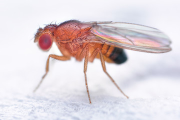 Drosophila melanogaster fruit fly extreme close up macro Wall mural
