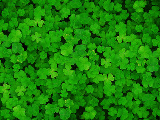 Natural green dark background. Plant and herb texture. Leafs green young fresh oxalis, shamrock, trefoil close-up. Beautiful background with green clover leaves for Saint Patrick's day