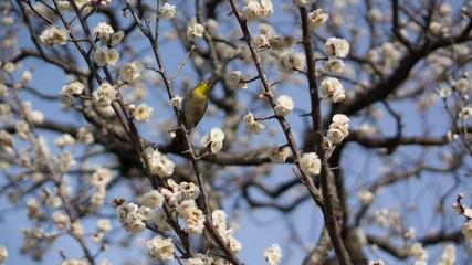 春を感じさせる梅の開花