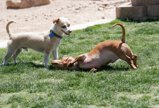 Dachshund puppy playing with a terrier mix at the park