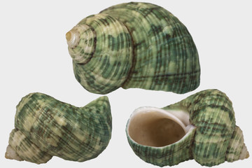 "Three views of green seashell on white background isolated. Shell ""Turbo crassus"" (Family ""Turbinidze"") close up."