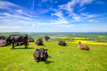 English rural landscape in with grazing Aberdeen Angus beef cattle Wall mural