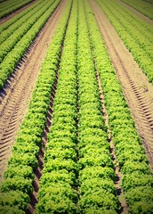 green lettuce in the cultivated field in summer with vintage effect