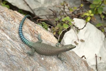 Dalmatinische Spitzkopfeidechse / trächtiges Weibchen (Dalmatolacerta oxycephala) - Sharp-snouted rock lizard