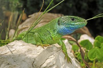 Smaragdeidechse (Lacerta viridis) - European green lizard Wall mural