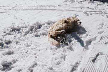 Golden Retriever tollt im Schnee