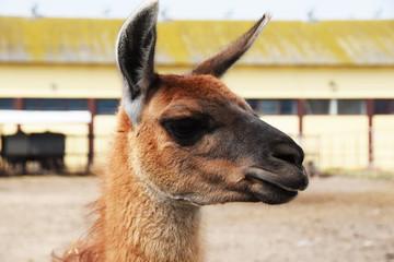 A llama will confide in a pen to children's therapy