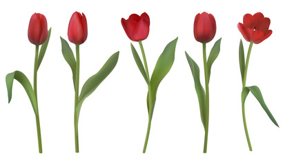 Set of red realistic vector tulip flowers. Elements of flower decor for a greeting card women's day or mother's day. Buds and leaves of different shapes. Isolated on white background.