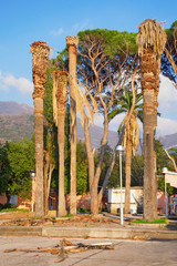 Palm trees that were infestated by the pests (red palm weevil).  Tivat, Montenegro