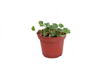 Heuchera sprouts in pot on white background.
