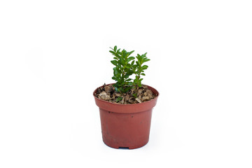 Buxus sprout in pot isolated on white background.