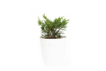 Small juniperus media pfitzeriana Old Gold in pot